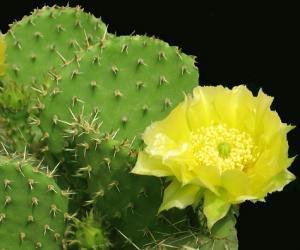 仙人掌提取物 Cactus P.E.