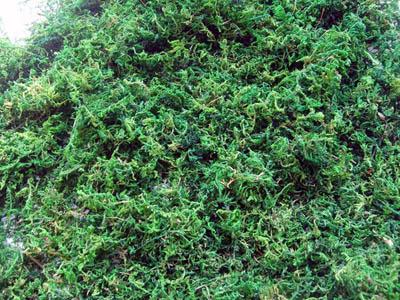 染色苔藓、染色青苔、GREEN MOSS、绿苔、山苔