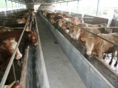 如何饲养西门塔尔牛牛犊 牛仔 鲁西黄牛好饲养吗
