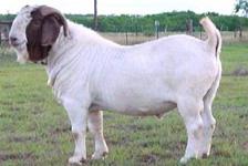 波尔山羊小羊羔好养殖吗适应哪种气候 在南方养殖改良牛西门塔尔牛可