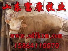 肉牛种牛良种养殖,肉牛养殖,牛羊养殖场