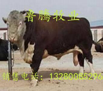 鲁腾牧业供应养殖技术养牛养羊牛羊优质如何养殖肉驴种驴