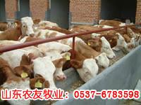 供应育肥肉牛-菜牛-西门塔尔肉牛-肉牛犊