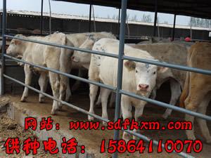 肉牛犊价格 育肥牛犊 小牛犊的价格