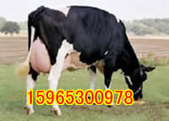改良品种生长快,养殖引种要到山东省畜牧局良种牛羊养殖场来!