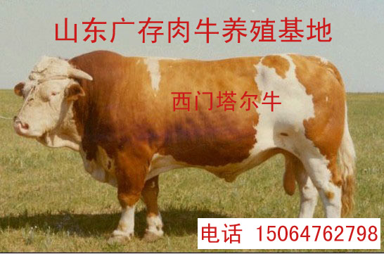 西门塔尔牛、三元杂交肉牛、杜泊绵羊、夏洛莱牛