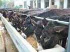 肉驴肉马饲养资料肉牛羊肉驴行情肉驴养殖效益宏立牧业