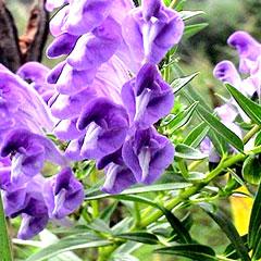 黄芩提取物(Baicalin)