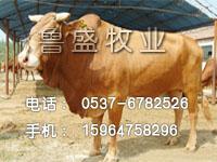 西门塔尔牛的养殖技术-鲁西黄牛小牛-改良牛养殖