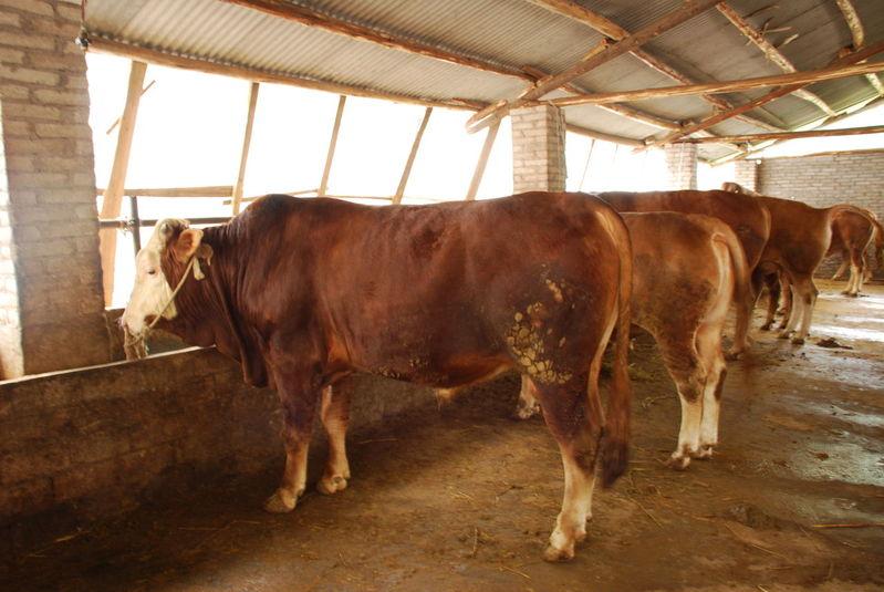 肉牛肉羊价格 肉牛市场行情 肉牛最新养殖技术 宏立牧业集团公司