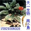人参提取物-人参皂甙 Ginseng extract