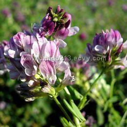 Alfalfa Extract Powder