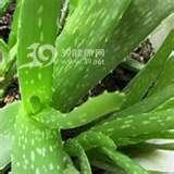 Aloe Extract Powder