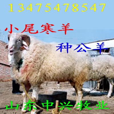 育肥肉牛犊、改良牛羊、肉牛肉羊、奶山羊、种羊、种牛 牛羊良种