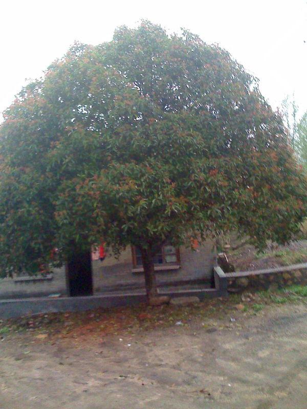 桂花树。核桃木