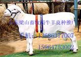 供山东济宁畜牧局纯种杜泊羊大型养殖基地杜泊羊育肥技术杜泊羊价格