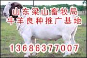 供纯种青山羊杜泊羊美利奴羊育肥效益分析