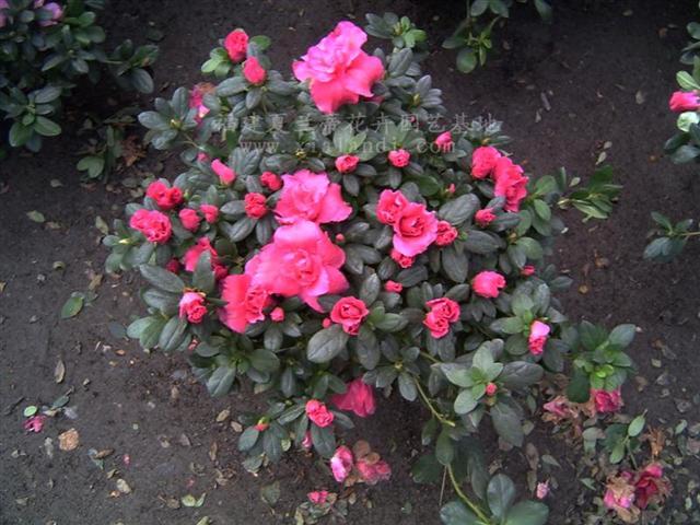 种:杜鹃花,比利时杜鹃花