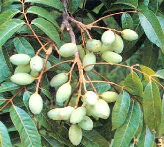橄榄叶提取物