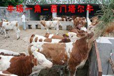 肉牛养殖技术 肉牛饲养 小牛价格 改良肉牛 肉羊养殖