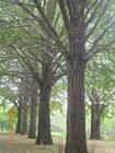 大量供应银杏苗木