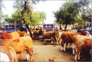 肉牛养殖效益/肉牛养殖利润/牛羊养殖技术