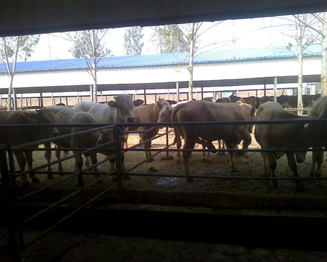 改良肉牛优良品种,山东华贺牛羊驴养殖基地