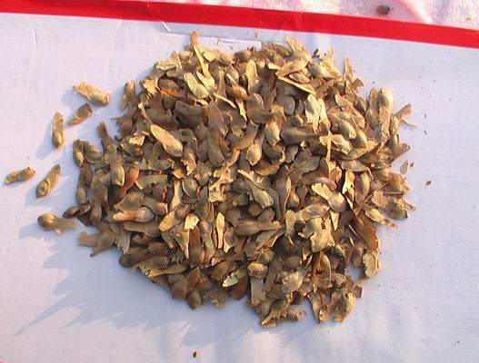售;红枫种子、美国红枫种子、日本红枫种子等