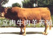 2010年肉牛肉羊最新价格 肉牛养殖市场行情 牛羊养殖技术介绍