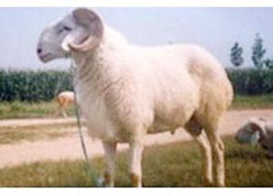肉羊种羊繁育基地养殖技术