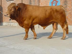 推广 黄牛养殖基地肉牛养殖场