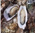 牡蛎 提取物