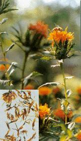 红花提取物Safflower Extract