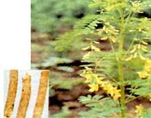 黄芪提取物Astragalus Extract Powder