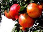 石榴提取物 Pomegranate Hull P.E