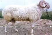 肉羊品种/肉羊养殖技术/肉羊养殖效益