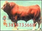 肉牛养殖效益肉牛养殖利润牛羊养殖技术山东养牛场