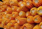 襄樊牧兴公司现款采购:蚕豆,花生,豌豆,大豆,棉粕,菜粕,玉米