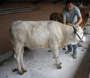 肉驴,乌头驴,德州驴,养驴,育肥小肉驴,肉牛,波尔山羊,西门塔尔