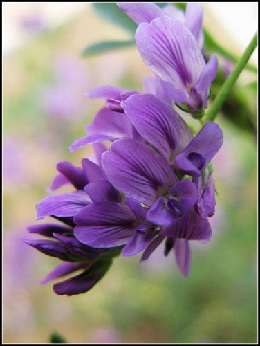 紫草提取物