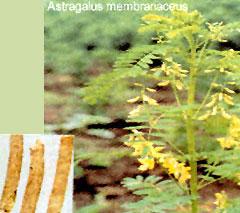 供应野生黄芪提取物