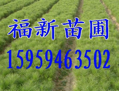 湿地松苗,木荷苗,红豆杉苗,光皮桦苗,香樟苗,无患子苗,罗汉松苗