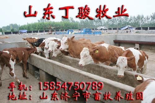 肉牛养殖场肉牛价格牛犊价格