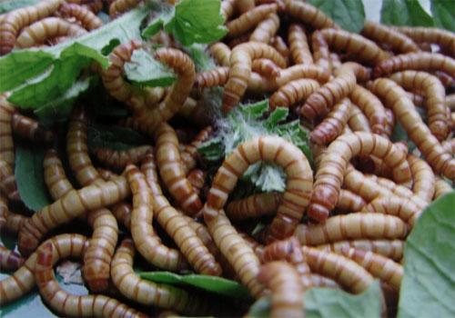 上海黄粉虫/上海黄粉虫养殖/上海黄粉虫养殖技术