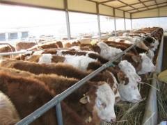 养牛基地天鸿牧业牛羊养羊场养牛致富村