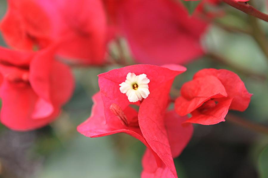 红花提取物