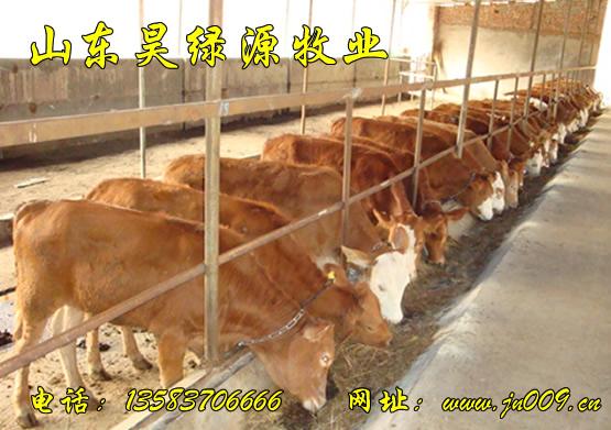 育肥小犊牛价格,育肥肉牛犊价格