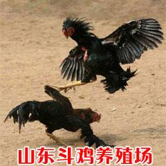 斗鸡养殖.斗鸡价格.我想买斗鸡.养斗鸡利润.天鸿斗鸡养殖