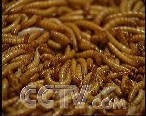 上海黄粉虫价格/上海黄粉虫种虫价格