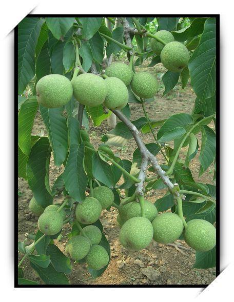 核桃树什么时候种植